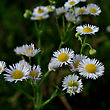 White Daisy With Fresh Green Leaves At Summer Sunny Day stock photo