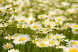 White Daisys stock photography