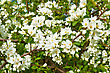 White Flowers Of Apple Trees On A Background Green Leaves