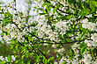 White Flowers Of The Cherry Blossoms On A Spring Day stock image