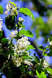 White Flowers And Green Leaf Of Apple Tree On Blue Sky Background. Close-up