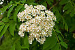 White Flowers Rowan Against The Background Of Green Leaves stock photo