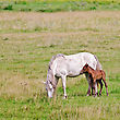 White Horse With Bay Colt Grazing On Green Meadow