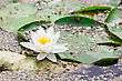 White Lotus Blossom In A Natural Pond stock image
