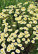 July White Matricaria Flowers On A Summer Green Meadow stock photo