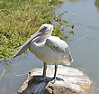 White Pelican Sitting On A Rock stock photo