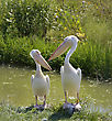 White Pelicans On The River Bank stock photo