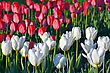 white and red tulips on the city flower bed stock photography
