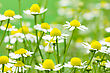 White And Yellow Daisies Blooming In A Summer Field stock image