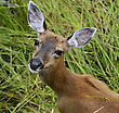 Whitetail Deer Female Looking At The Camera stock photography
