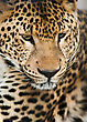 Wild Animals: Portrait Of Leopard. Artistic Shallow DOF stock photography