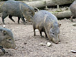 Wild Boars stock photo