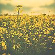 Wild Yellow Flowers On The Summer Meadow, Abstract Environmental Backgrounds With Faded Colors stock photo