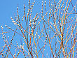 Willow Branch Against The Blue Sky In Early Spring stock photography