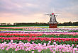 Windmill On A Tulips Field In The Spring Evening stock photo