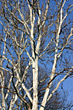 Winter Birch Tree stock image