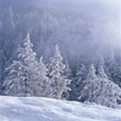 Winter Scene with Snowy Pines stock photography