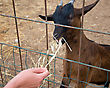 Woman Feeding Goat On The Farm stock photography