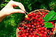 Woman's Hands Holding Basket Of Ripe Red Cherries stock photography