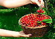 Woman's Hands Holding Basket Of Ripe Red Cherries