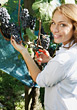 Woman Harvesting Wine Grapes stock photo