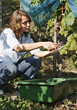 Woman Working on Vineyard stock photo