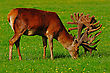 World-class Red Deer Stag, Cervus Elephus, In Velvet, Westland, New Zealand stock photo