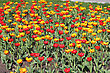 Yellow And Red Tulip Field stock photo