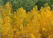 Yellow Autumn Leaves, Colorado, USA stock photo