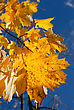 Yellow Autumn Maple Leaves On Trees In Park stock photo