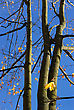 Yellow Autumn Maple Leaves On Trees In Park stock photography