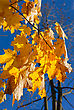 Yellow Autumn Maple Leaves On Trees In Park stock image
