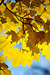 Yellow Autumn Maple Leaves On Trees In Park. stock photo