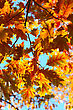 Yellow Autumn Oak Leaves On Trees In Park. stock photography