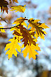 Yellow Autumn Oak Leaves On Trees In Park. stock photo