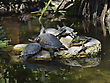 Tortoise Yellow-bellied Slider Turtles Basking stock photo