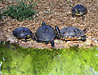Yellow-bellied Slider Turtles By The Water stock photography