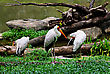 Yellow Billed Stork In Kuala Lumpur Zoo stock photo