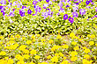 Yellow And Blue Flowers In The City Park At Sun Light stock photo