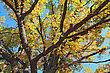 Yellow Branch Of The Oak stock photography
