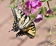 Yellow Butterfly On Sweet Peas Flowers stock image