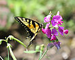Feeding Yellow Butterfly On Sweet Peas Flowers stock image