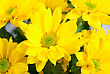 Yellow Color Chrysanthemum Flowers Close Up stock photo