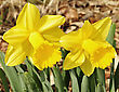 Yellow Daffodil Flowers In The Garden