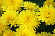 Yellow Daisies Close Up Horizontal Picture. stock photography