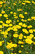 Yellow Daisies In The Field. stock image