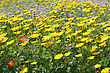 Yellow Daisies In The Meadow stock photo