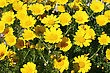 Yellow Daisies In The Meadow. stock photo