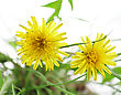 Yellow Dandelion Flowers On White Background stock photo