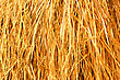 Yellow Dry Grass Background. Dry Grass Texture stock photography